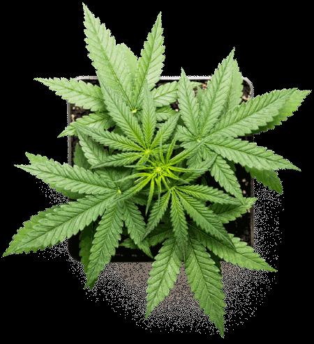 marijuana-plant-canada